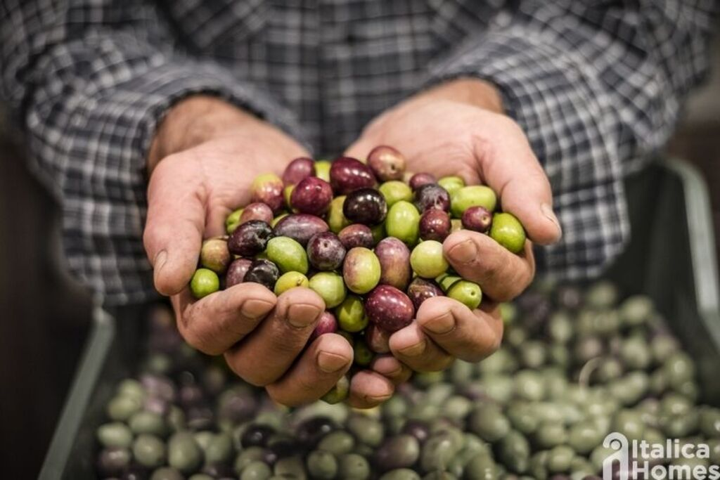 How olive oil is produced