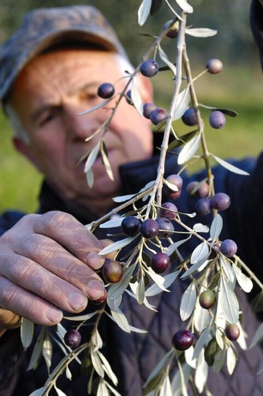 Olivenernte Italien