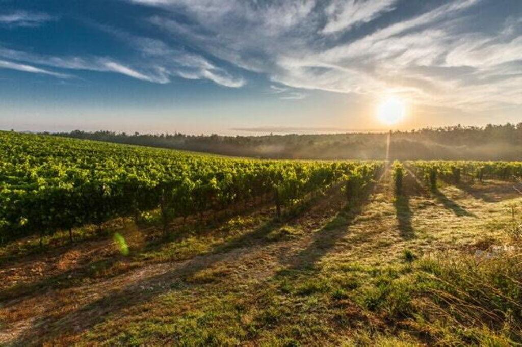 Vineyard in Tuscany