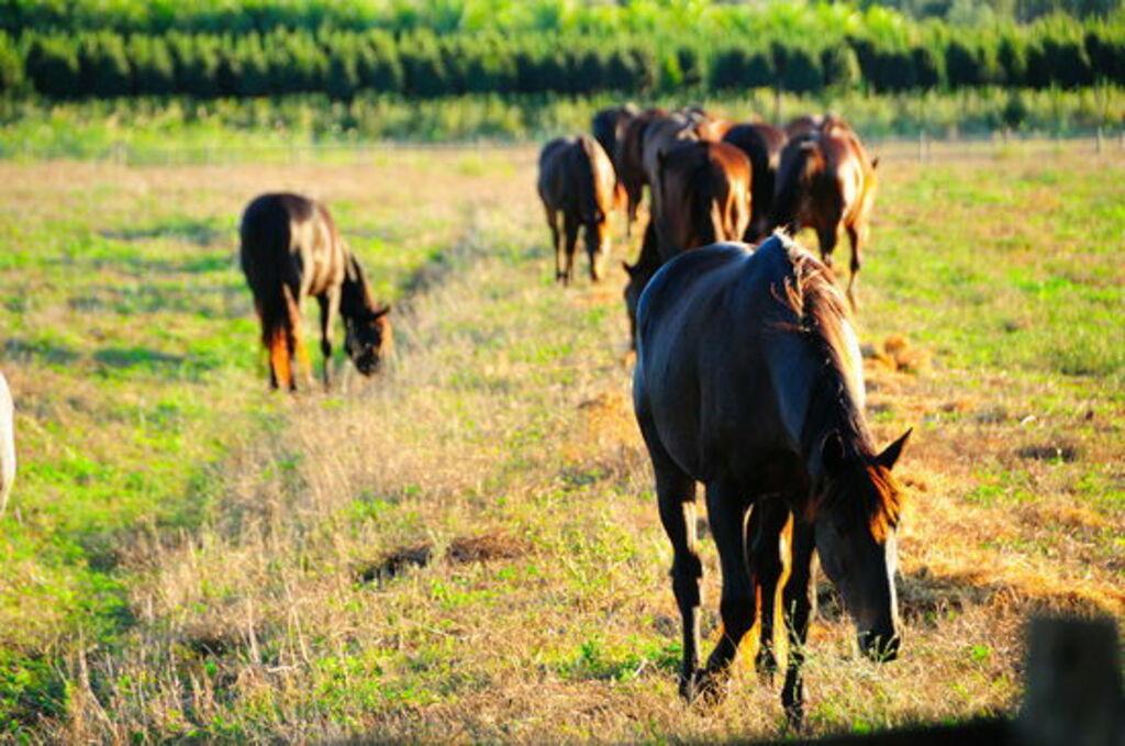 Maremmové koně