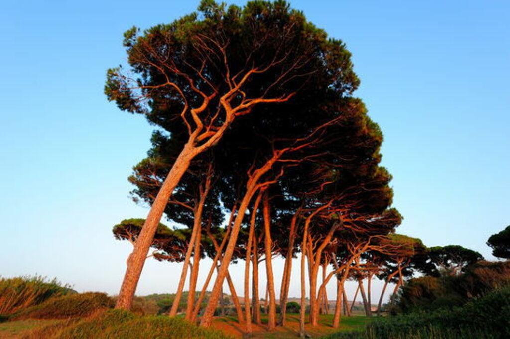 borovice na toskánské pláži