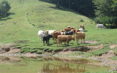 Casa Marta: Free cows in the surroundings of Pascoso