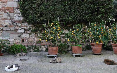 Fattoria Le Poggiola: lemmon in the yard