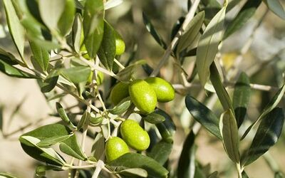 Podere Torremozza: Our olive grove