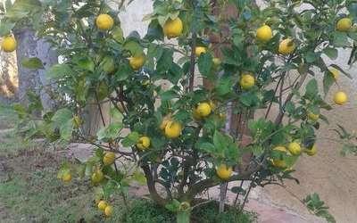 Tenuta Il Tresto: I nostri limoni