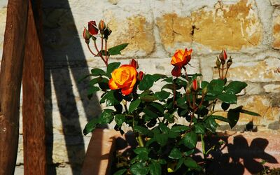 Le Querciole Del Chianti Countryhouse: Some of our roses