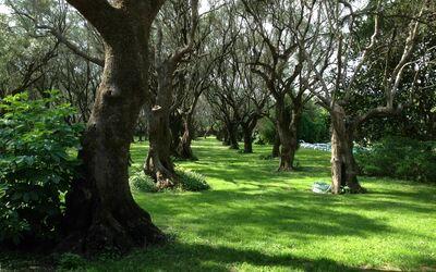 Villa Maria Doria: olive grove