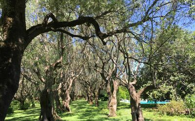 Villa Maria Doria: 500 years old olive grove, and swimming pool