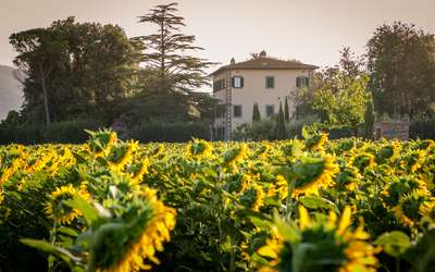 Villa Ivana - Cortona: Sunflowers all around the Villa