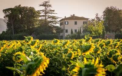 Villa Ivana - Cortona: Sunflowers all around the Villa
