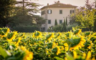 Villa Ivana - Cortona: Sunflowers around the Villa